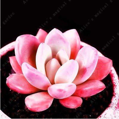 100 Pcs Rare Mini Cactus Bonsai Mix Succulent Ornamental Plants Succulents for Home Indoor Plants
