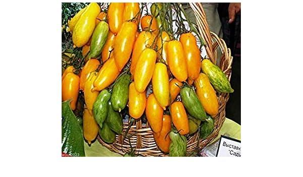 Shoppy Star: 50 Semillas: Las semillas de tomate de la herencia ...