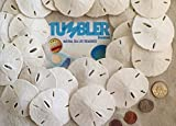 Tumbler-Home-Certified-Sand-Dollars-2-to-3-Set-of-24-Wedding-Seashell-Craft-Hand-Picked-and-Professionally-Packed