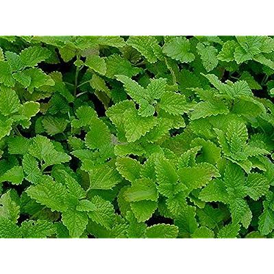 100+ Organic Lemon Balm Melissa Heirloom Non-GMO Seeds Fragrant Herb Perennial Herb Seeds for Planting #HDG-RR : Garden & Outdoor