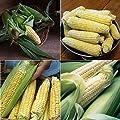 David's Garden Seeds Collection Set Corn Sweet Hybrid EH9751 (Multi) 4 Varieties 400 Seeds (Non-GMO, Hybrid)