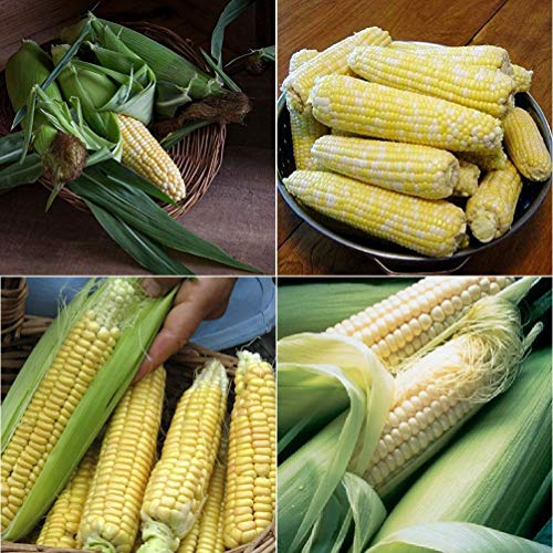David's Garden Seeds Collection Set Corn Sweet Hybrid EH9751 (Multi) 4 Varieties 400 Seeds (Non-GMO, Hybrid)