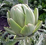 Green Globe Artichoke - 8 Plants - Artichokes this Year