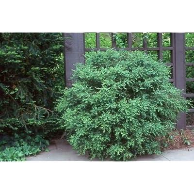 Toyensnow - Buxus microphylla koreana LITTLELEAF Boxwood (5 Seeds) : Garden & Outdoor