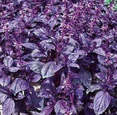 asil Herb Seeds, Fresh Garden Herb Seeds, New Live Seeds (60 Seeds) ()
