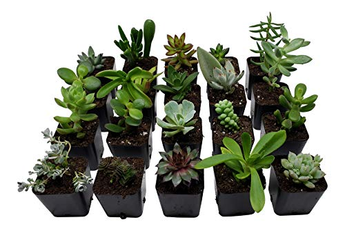 Succulent Plants [20 Pack Succulents] - Rooted 2 Inch Succulents in Planter Pots with Soil, Unique Live Indoor Plants for Decoration, Easy Care Plant Decor by Succulent - Easy Care Plants