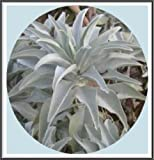 "100+ California White Sage Seeds~ Sacred ""Salvia Apiana"" Ceremonial Aromatic Make Your Own Smudge Sticks! Rainbow Seeds & Supplies®"