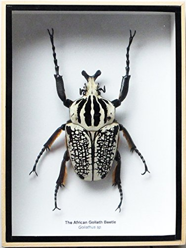 - ThaiHonest REAL GIANT AFRICAN GOLIATH GOLIATHUS BEETLE MALE INSECT TAXIDERMY SET IN BOX DISPLAY