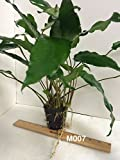 Exotic Live Aquatic Plant Anubias minima Mother Pot M007 Best Quality