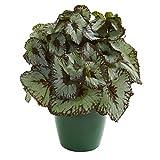 Nearly Natural Rex Begonia Artificial Green Planter