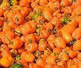 Orange Habanero Pepper Superhot Spicy Chili #68 (16K Seeds, or 1/4 Pound)