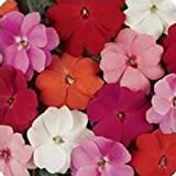 New Guinea Impatiens Flower Garden Seeds - F1 Divine Series - Mix - 100 Seeds - Annual Flower Gardening Seeds - Impatiens hawkeri