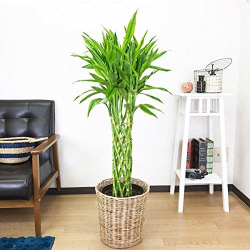 ミリオンバンブー ドラセナサンデリアーナ 観葉植物 ナチュラル鉢カバー付 インテリア 大型 ラッキーバンブー 幸運の竹 B0761TDN33