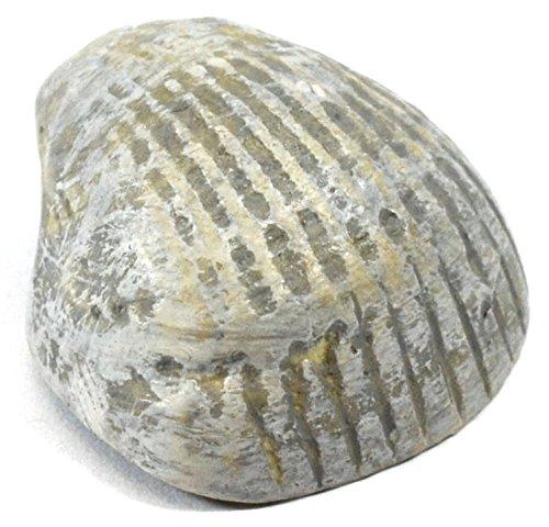3cm Paleozoic Bivalve Fossil Replica