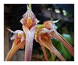 Bulbophyllum sanguineopunctatum – 100 seeds