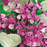 Kings Seeds - Honesty Fine Mixed (Lunaria annua)(Money Plant) - 75 Seeds