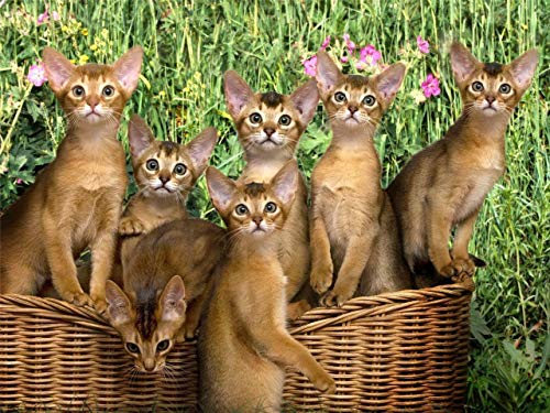 Home Comforts Peel-n-Stick Poster of Abyssinian Kittens Cats Kitty Shorthair Cute Vivid Imagery Poster 24 x 16 Adhesive Sticker Poster Print