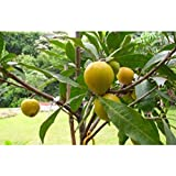 Bruce Canistel Tropical Fruit Trees 3-4 Feet Height in 3 Gallon Pot #BS1