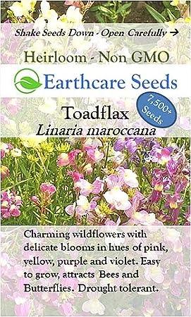 100 Flamenco Linaria Seeds Toadflax