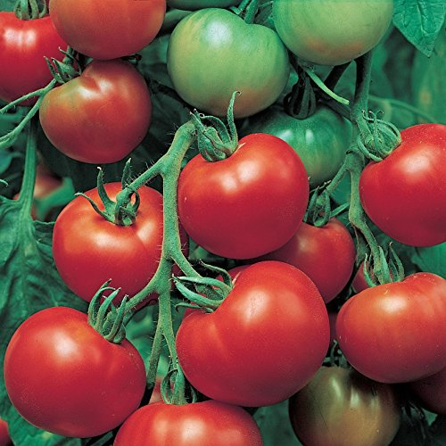 Super Sioux Tomato Seeds - 10+ Non-GMO Organic Heirloom Tomato Seeds in FROZEN SEED CAPSULES for the Gardener & Rare Seeds Collector - Plant Seeds Now or Save Seeds for Years (Super Sioux Tomato)