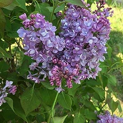 AchmadAnam - Live Plant - SCENTARA Double Blue. E4 : Garden & Outdoor