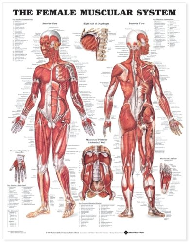 - The Female Muscular System Anatomical Chart (9781587795657)