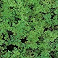 IDEA HIGH Suffolk Herbs - Organic Chervil - 600 Seeds