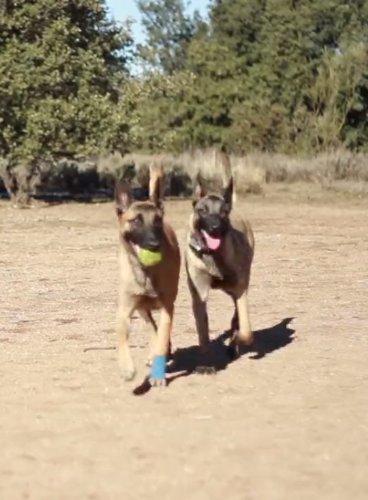 Vídeo Curso: Curso de adiestramiento canino: Amazon.es: Deportes y aire libre