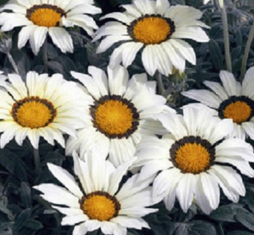 - Gazania Seeds Frosty Kiss White Flower Seeds Garden Starts - 500 Seeds