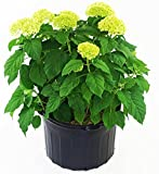 Hydrangea arb. 'Annabelle' (Smooth Hydrangea) Shrub, white mophead flowers, #3 - Size Container
