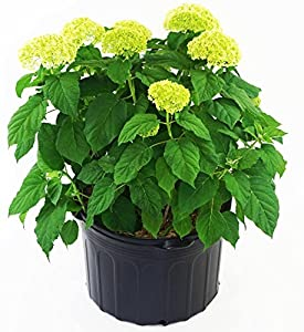 Annabelle Hydrangea White Flowering Plant In 3 Gallon Pot