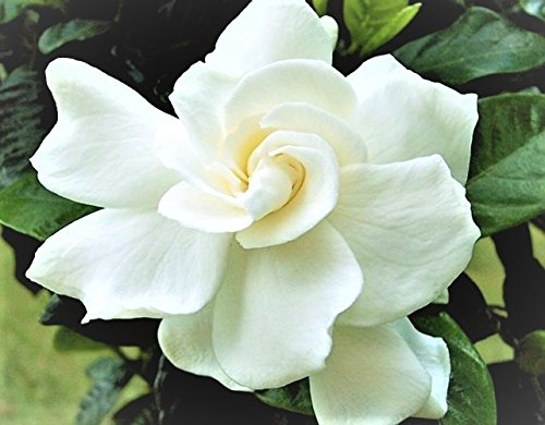 Jubilation Gardenia - Southern Living - Live Plant - Trade Gallon Pot by Amazing Plants