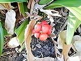 20 Japanese Sacred Lily Seeds - rohdea Japonica