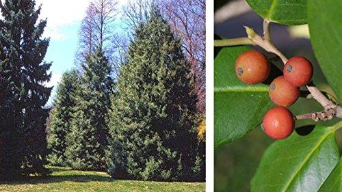 - ILEX OPACA (American holly) - Single Plants