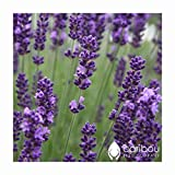 Caribou Seed Company: Organic Lavender (Perennial) 100 Seeds, High Quality, Germination *Deer & Drought Resistant* Fresh Canadian Seed