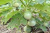 buy Thai Eggplant Seeds