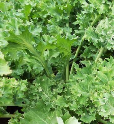 David's Garden Seeds Kale Siberian EB112KAL (Green) 500 Organic Seeds