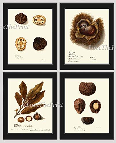 (Nut Print Wall Art Set of 4 Antique Beautiful Botanical Walnut Hazelnut Pekea Nut Nature Home Room Decor Interior Design Unframed)