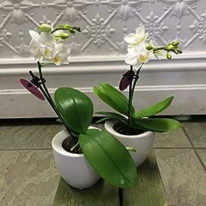 100 Pcs Rare mini Bonsai Orchid seeds balcony Mini Orchid flower pot seeds Beautiful Garden flower Seeds