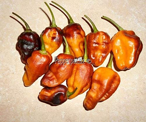 One of the Most Beautiful Peppers around Today!!! Pimenta de Neyde White