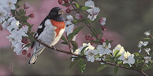 Rose Breasted Grosbeak and Apple Blossoms by Jeffrey Hoff Art Print, 20 x 10 inches