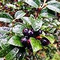 100 Evergreen Huckleberry Bush Seeds (Vaccinium Ovatum) Seeds A2
