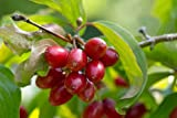 1 Pcs of 3 qt Cornus mas, Cornelian Cherry Dogwood