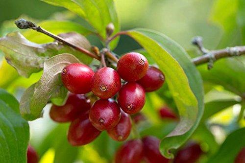 1 Pcs of 3 qt Cornus mas, Cornelian Cherry Dogwood by MULFI_DANCE