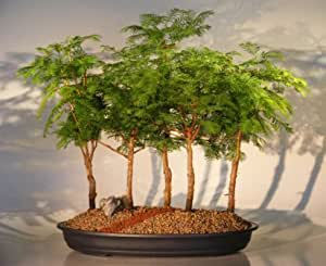 Bonsai Boy's Dawn Redwood Bonsai Tree - 5 Tree Forest Group metasequoia glyptostroboides