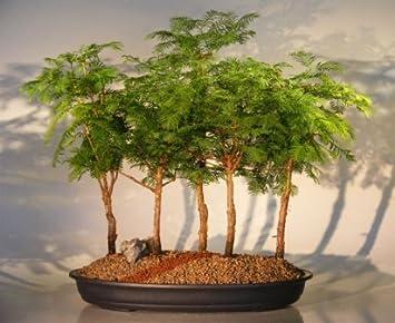 Bonsai Boys Redwood Bonsai Tree 5 Tree Forest Group Metasequoia Glyptostroboides