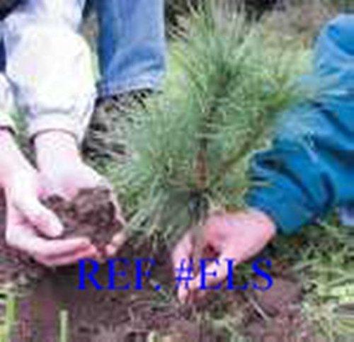 North Georgia White Pine Sapling Trees 24inch Evergreen seedling transplants #REG