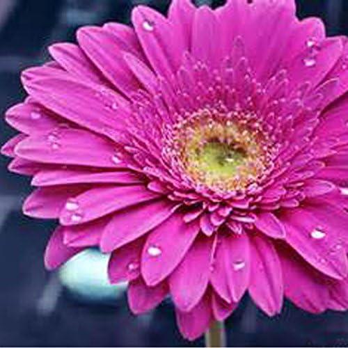 100PCS Bonsai Crisantemo rosado Semillas Semillas perenne en maceta de flores de crisantemo largo periodo de floración de semillas de la decoración del hogar del crisantemo: Amazon.es: Jardín