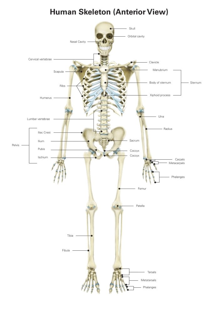 Amazon Anterior View Of Human Skeletal System With Labels