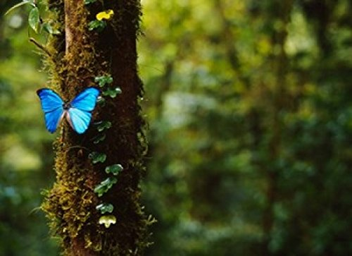 Posterazzi Blue Morpho Butterfly Costa Rica Poster Print by Panoramic Images (17 x 12)